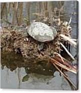Painted Turtle Sunning On A Mud Flat Canvas Print