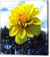 Painted Yellow Dahlia Canvas Print