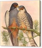 Pair Amur Falcons Canvas Print