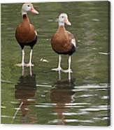 Pair Black-bellied Whistling-ducks Canvas Print