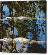 Pair Of American Alligators Canvas Print