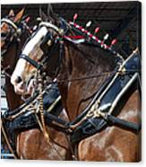 Pair Of Budweiser Clydesdale Horses In Harness Usa Rodeo Canvas Print