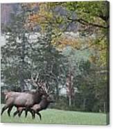 Pair Of Elk Bulls Canvas Print