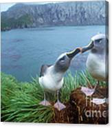 Pair Of Grey-headed Albatross Canvas Print