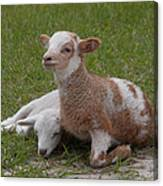 Pair Of Lambs Canvas Print
