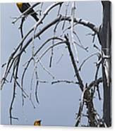 Pair Of Male Yellow-headed Blackbird   #9521 Canvas Print