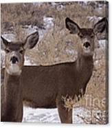 Pair Of Mule Deer   #7584 Canvas Print