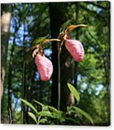 Pair Of Pink Lady Slippers  Canvas Print