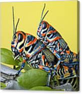 Pair Of Rainbow Grasshoppers On Ocotillo Canvas Print