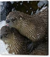 Pair Of River Otters   #1301 Canvas Print