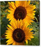 Pair Of Sunflowers Canvas Print