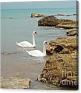 Pair Of Swans. Canvas Print