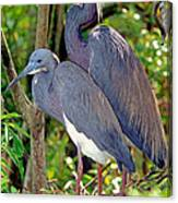 Pair Of Tricolored Heron At Nest Canvas Print