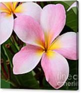 Palacious Pink Plumeria Canvas Print