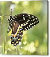 Palamedes Swallowtail 2 Canvas Print