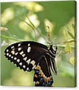 Palamedes Swallowtail Canvas Print