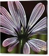 Pale Blue Flower Backlit Canvas Print