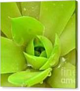 Pale Succulent Canvas Print