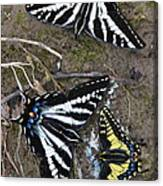 Pale Swallowtails And Western Tiger Swallowtail Butterflies Canvas Print