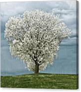 Pale White Tree On Cloudy Spring Day E83 Canvas Print