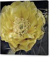 Pale Yellow Prickly Pear Bloom  Canvas Print
