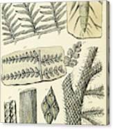 Paleozoic Flora, Calamites, Illustration Canvas Print