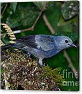 Palm Tanager Canvas Print