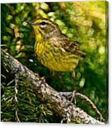 Palm Warbler Pictures 38 Canvas Print