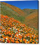 Palmdale Poppies Canvas Print