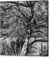 Palo Verde In Black And White Canvas Print