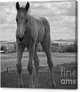Palomino In Black And White Canvas Print