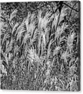 Pampas Grass Monochrome Canvas Print