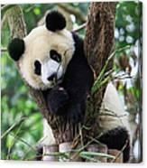 Panda Cub Resting On Tree Canvas Print
