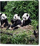 Pandas In China Canvas Print