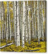 Panoramic Birch Tree Forest Canvas Print
