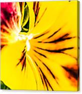 Pansy Flower 1 Canvas Print