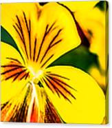 Pansy Flower 2 Canvas Print