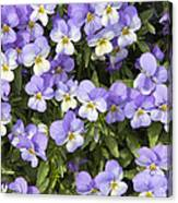 Pansy Flowers In Spring Background Canvas Print