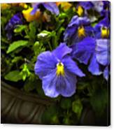 Pansy Planter Canvas Print