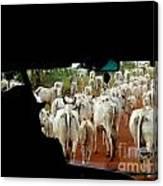 Pantenal Cows Canvas Print