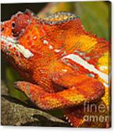 panther chameleon from Madagascar 3 Canvas Print