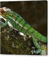 panther chameleon from Madagascar 5 Canvas Print