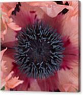 Papaver Orientale Pink Ruffles Canvas Print