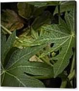 Papaya Leaves Canvas Print