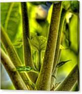 Papaya Shoot Canvas Print