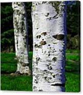 Paper Birch Trees Canvas Print