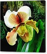 Paph Hellas Westonbirt Orchid Canvas Print