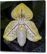 Paphiopedilum Concolor Orchid Canvas Print