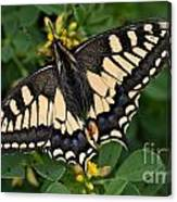 Papilio Machaon Butterfly Sitting On The Lucerne Plant Canvas Print