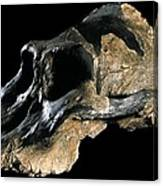 Paranthropus Aethiopicus (knm-wt 17000) Canvas Print